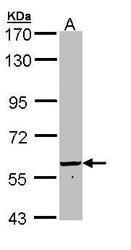 NBP1-32793 - 58K Golgi Protein