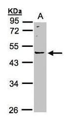 NBP1-32802 - LRRC43