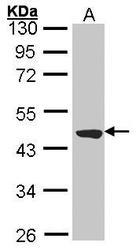 NBP1-32805 - TTLL1