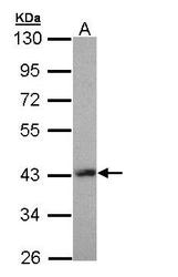 NBP1-32840 - LHX8