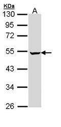 NBP1-32902 - PUS1