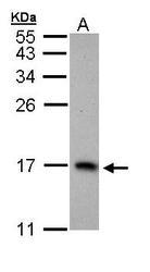 NBP1-32975 - PTS