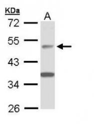 NBP1-33014 - APBB3 / FE65L2