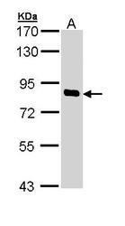 NBP1-33054 - SCYL1