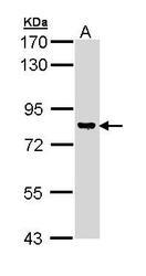 NBP1-33055 - DAG kinase gamma