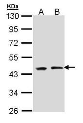 NBP1-33417 - Polycomb protein EED