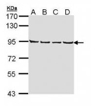 NBP1-33433 - LETM1