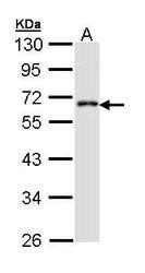 NBP1-33434 - CDS1