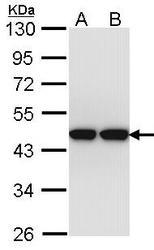 NBP1-33497 - ACTL8