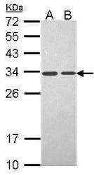 NBP1-33498 - PSME3