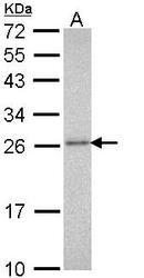 NBP1-33537 - PSMA3