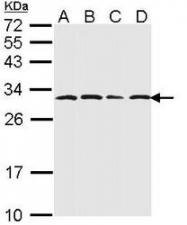 NBP1-33538 - PSMA6