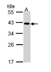 NBP1-33557 - EIF2B2 / EIF2BB