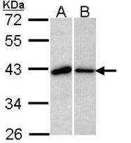 NBP1-33558 - BUB3