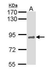 NBP1-33596 - HNF1 alpha / TCF1
