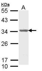 NBP1-33598 - THOC4 / ALY