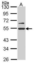 NBP1-33599 - RUVBL2 / TIP49B