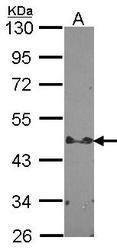 NBP1-33643 - STAP2 / BKS
