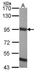 NBP1-33645 - ELMO1