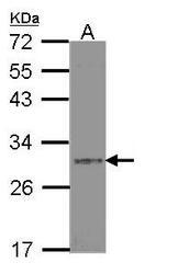 NBP1-33661 - Syntenin-1 / SDCBP