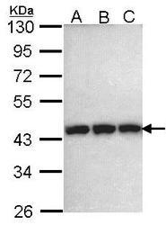 NBP1-33685 - Phosphoglycerate kinase 1 (PGK1)