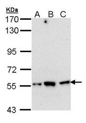 NBP1-33689 - DARS1