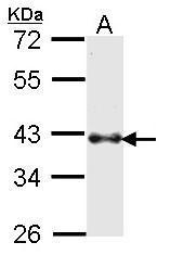NBP1-33748 - BMI-1 / RNF51