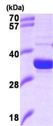 NBP1-37089 - Heme oxygenase 2 (HMOX2)