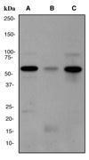 NBP1-40425 - WAS / IMD2