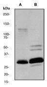 NBP1-40439 - Heme oxygenase 1 / HMOX1