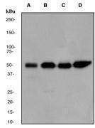 NBP1-40441 - IRF3
