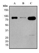NBP1-40465 - STAT4