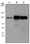 NBP1-40474 - DLG4 / PSD95