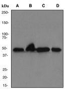 NBP1-40492 - YBX1