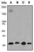 NBP1-40505 - Prohibitin / PHB