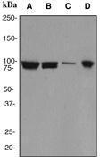 NBP1-40523 - Cullin 1