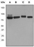 NBP1-40562 - Cullin-3