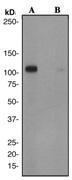 NBP1-40564 - Glutamate receptor 1 / GLUR1