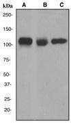 NBP1-40575 - CD146