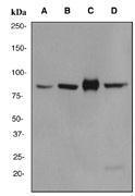 NBP1-40577 - Cullin-3