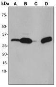 NBP1-40580 - Galectin-3