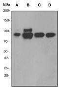 NBP1-40587 - Cullin-4B