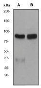 NBP1-40602 - Epsin-1
