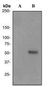 NBP1-40619 - IRF3