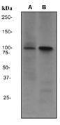 NBP1-40625 - CD10 / Neprilysin