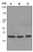 NBP1-40640 - NDUFAF1