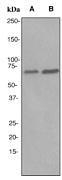 NBP1-40642 - RPA1