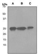 NBP1-40650 - HMGB1