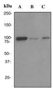 NBP1-40651 - DNMT3B