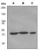 NBP1-40673 - PRMT1